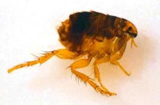 Eliminar pulgas de casa