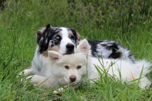 Antipulgas perro